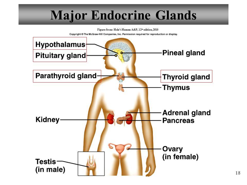 Hole S Anatomy And Physiology Pancreas