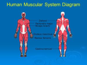 Animal Tissues and Organ Systems  ppt download