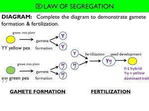 WHAT YOU WILL LEARN 102 MENDELIAN GENETICS Law of