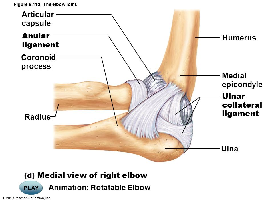 Unique Radial Collateral Ligament Elbow Gift Anatomy And