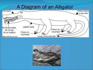 Alligator DARYN WHITE  ppt video online download