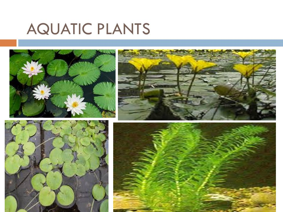 Aquatic Plants Names