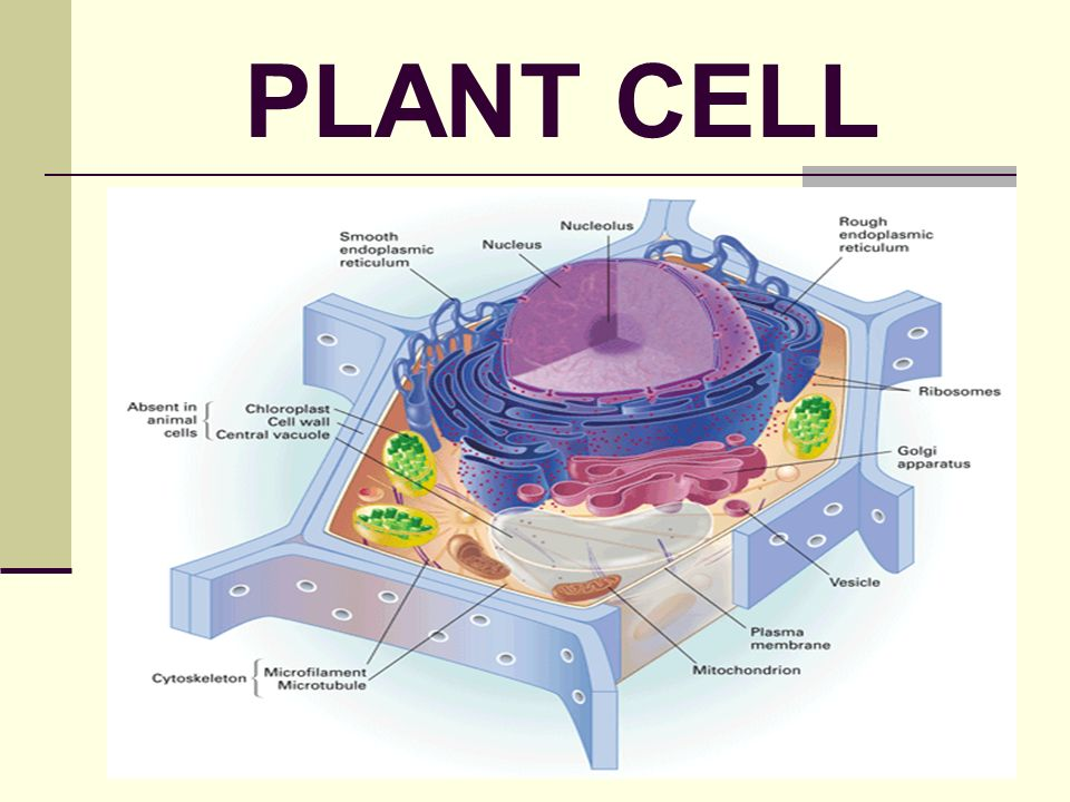 Organelles Cells Made
