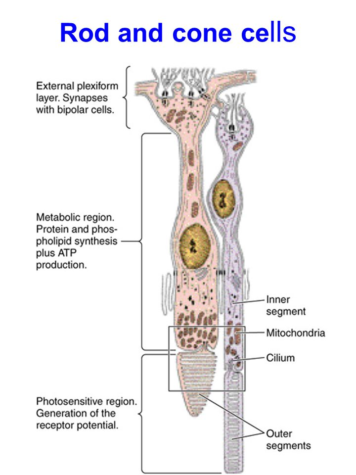 Cribrosa Lamina Nerve Optic