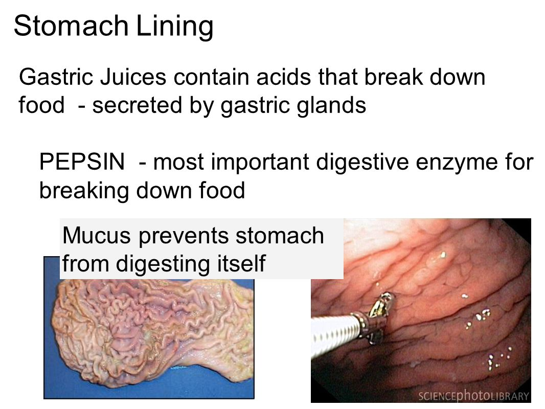The Digestive System Chapter Ppt Download