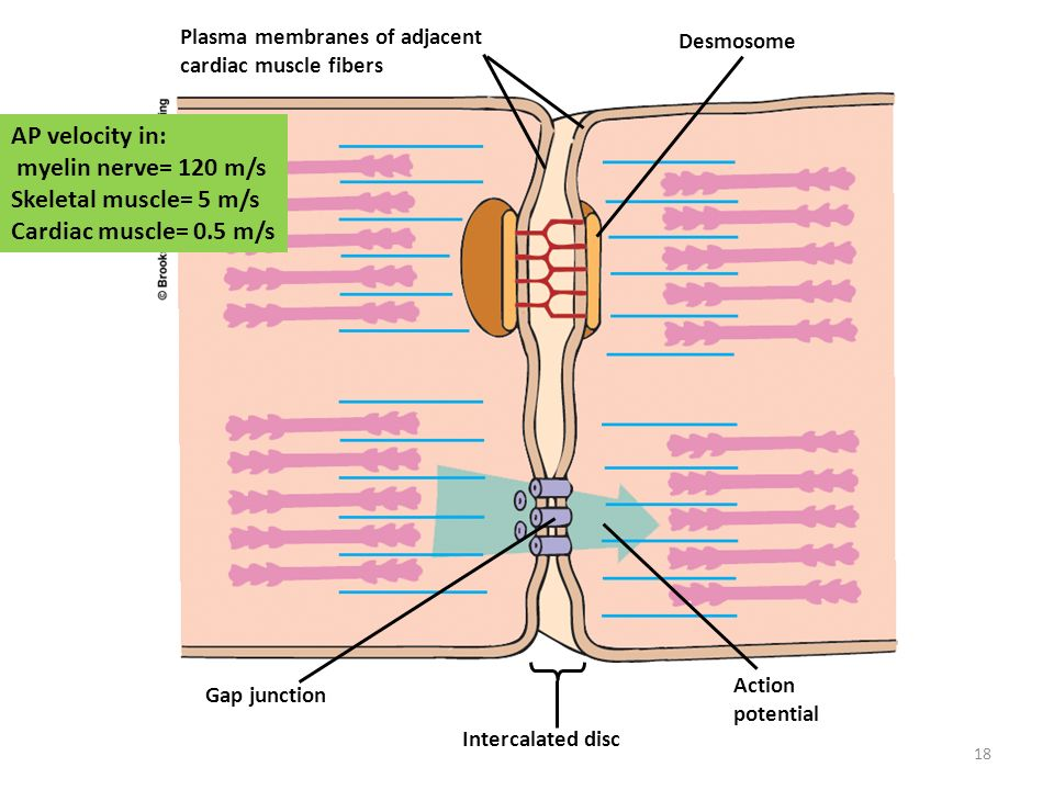 Cardiac Muscle Branched Fiber