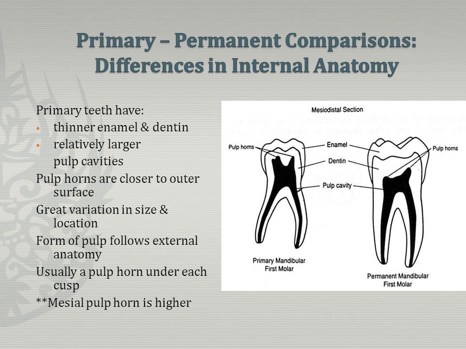 Niedlich Anatomy Of Permanent Teeth Zeitgenössisch - Anatomie Von ...