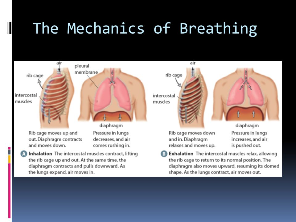 Diaphragm Lungs Mechanics