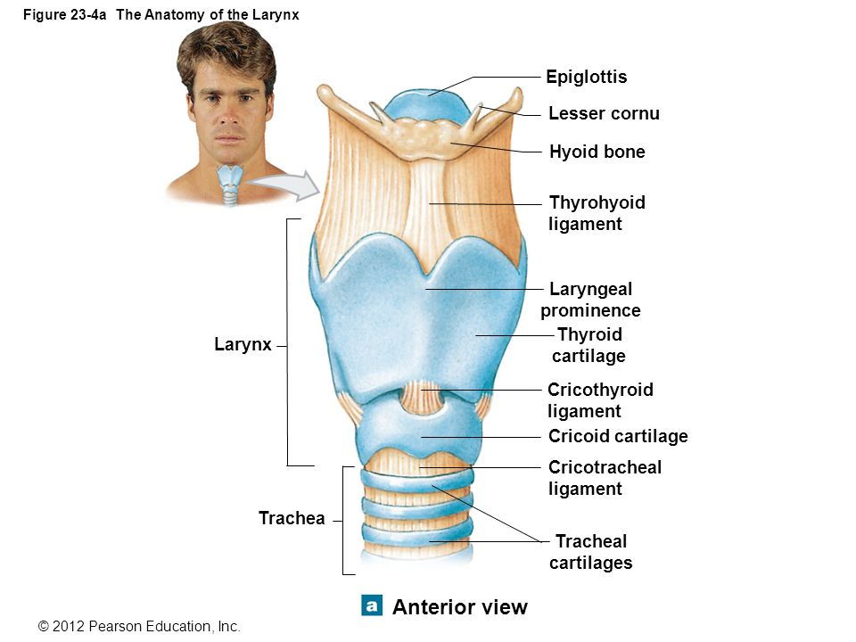 Function Of Tracheal Cartilage