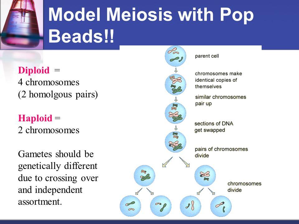 Diagram Prophase 1 Bead