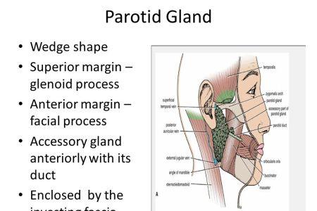 Interior Inferior Right Parotid Gland Full Hd Maps Locations