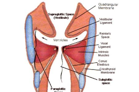vocal folds and ventricular folds » 4K Pictures | 4K Pictures [Full ...