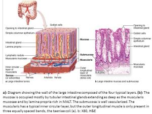 Histology of digestive system Small, large Intestine