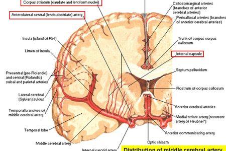 Interior Inferior Middle Cerebral Artery Full Hd Maps Locations