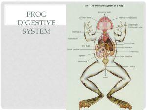 Digestive System Frog vs Human  ppt video online download