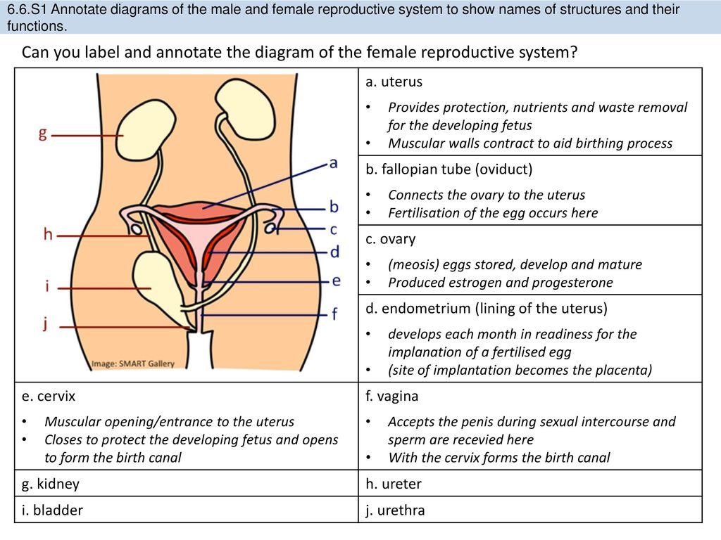 Male And Female Reproductive System Labeled Diagram