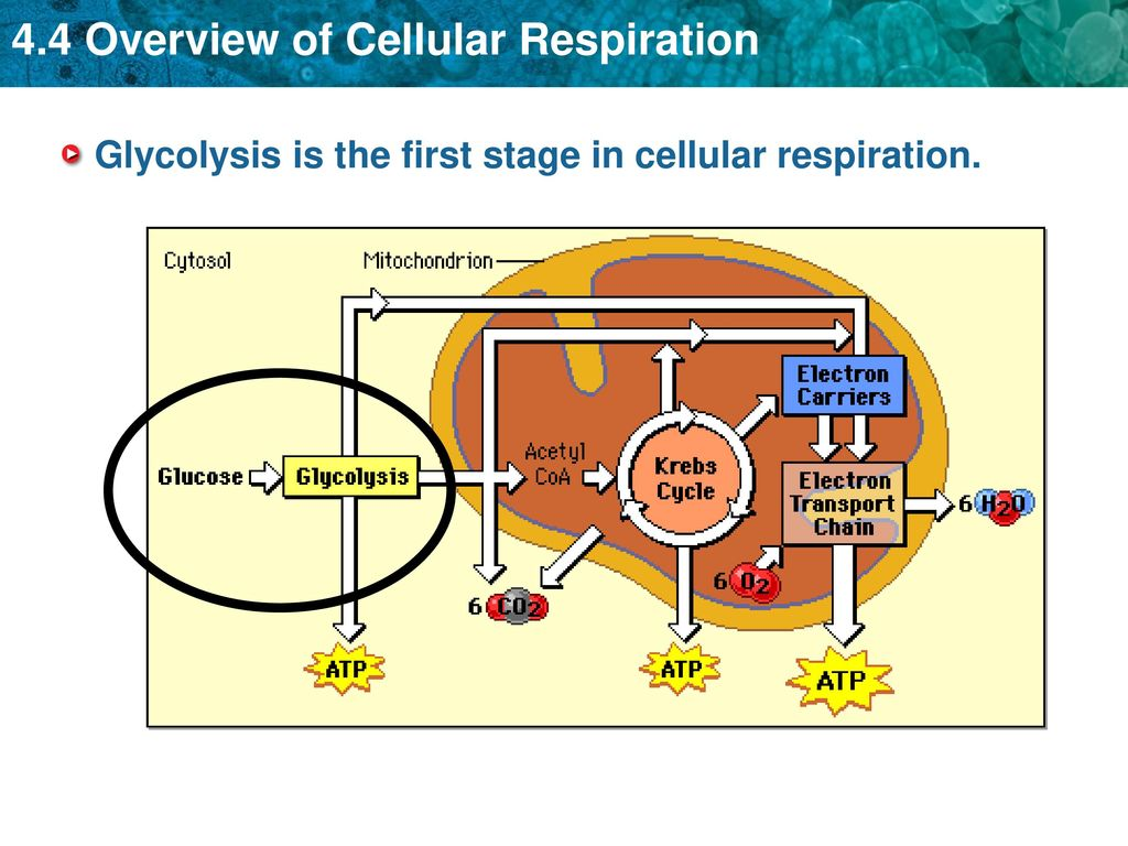Key Concept The Overall Process Of Cellular Respiration
