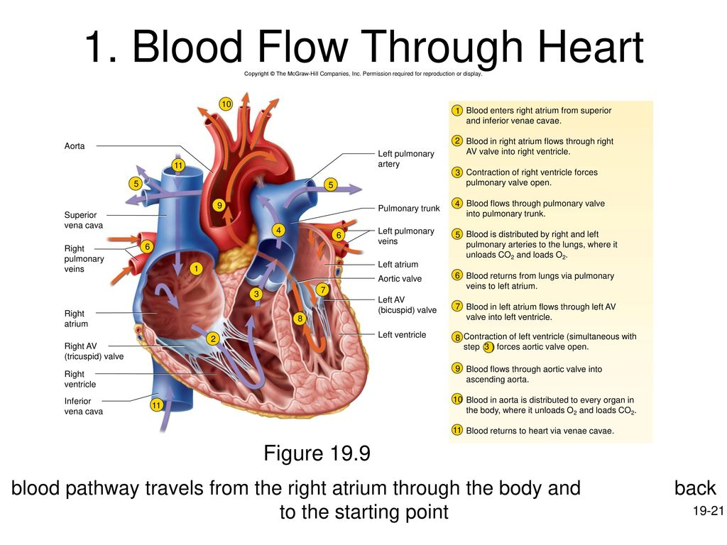 Chapter 19 The Circulatory System The Heart