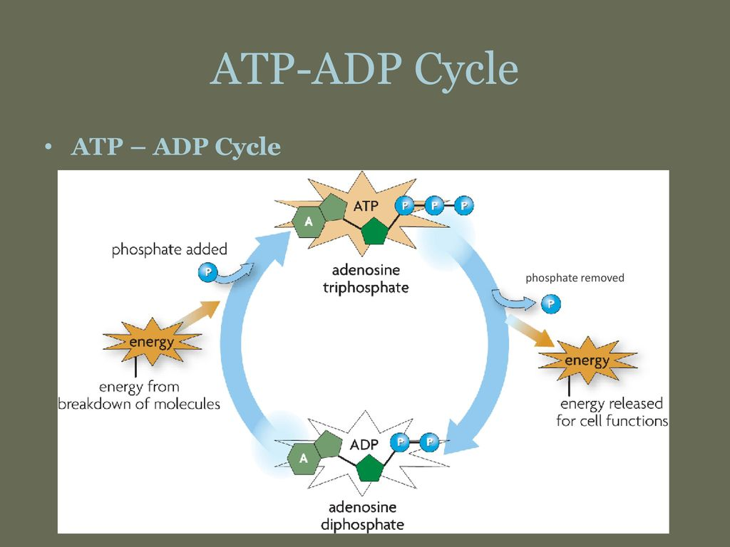 Answer Key Atp Adp Cycle Worksheet Answers