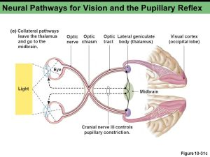 Chapter 10c Sensory Physiology  ppt video online download