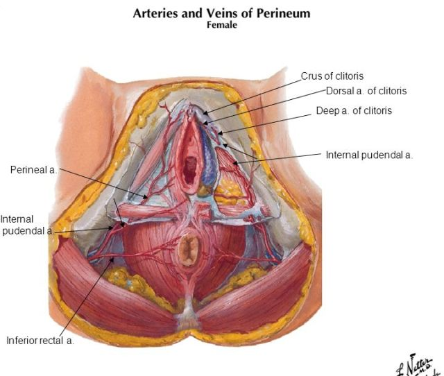 Crus Of Clitoris Dorsal A Of Clitoris Deep A Of Clitoris Internal
