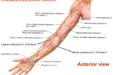 Electronic Wallpaper » interior upper limb view anatomy
