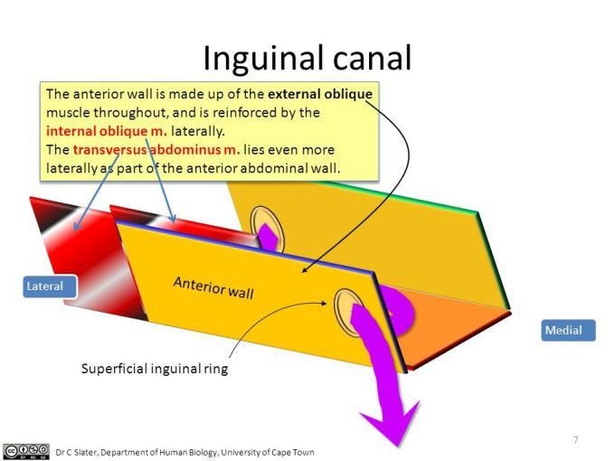 Floor Of Inguinal Canal Is Formed By   Wikizie.co