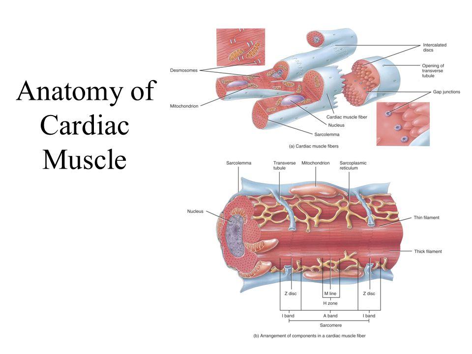 Cardiac Muscle Fiber Slide