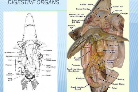 interior internal gills dogfish shark » Electronic Wallpaper ...