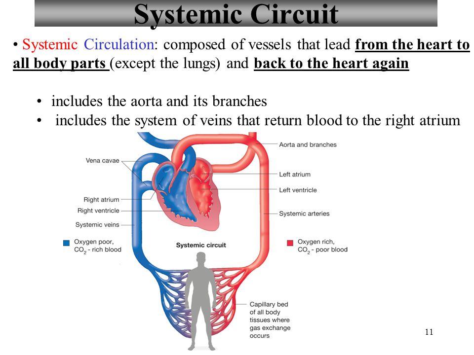 Blood Circulatory System Diagram