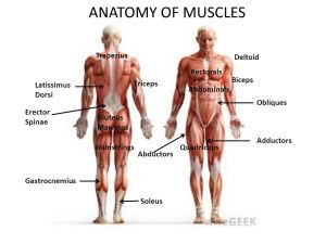 ANATOMY OF MUSCLES Trapezius Deltoid Pectorals Biceps