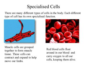 Animal Cells Contains the cell DNA and controls the cells function  ppt video online download