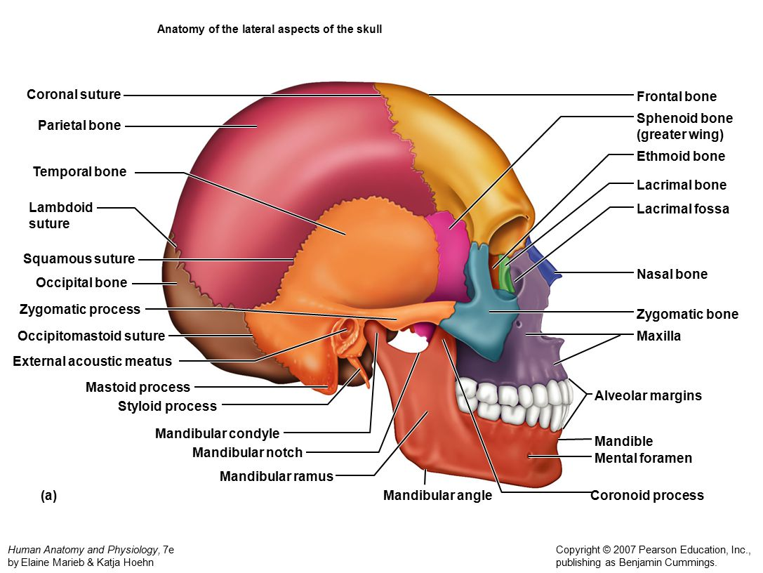Maxilla Anatomy Worksheet | Printable Worksheets and Activities for