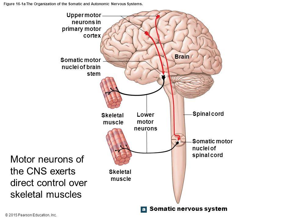 Somatic Motor Neuron Central Nervous System | Newmotorspot.co