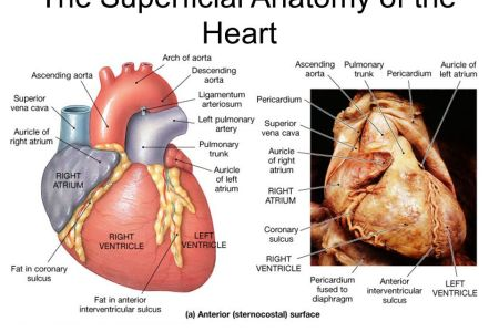 Surface Anatomy Of Heart 4k Pictures 4k Pictures Full Hq Wallpaper