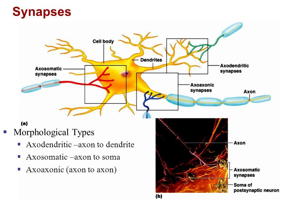 Structure Unmyelinated Neuron