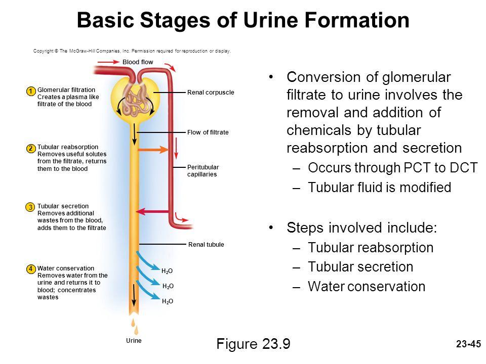 Glomerular Filtrate Reabsorption