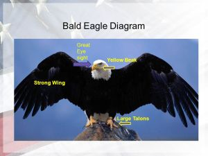 The Amazing Bald Eagle By Evan Perona  ppt video online