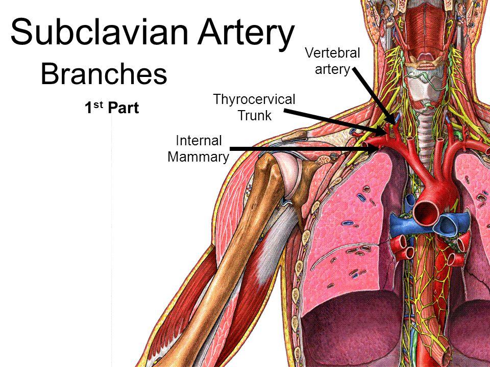 Artery Innominate