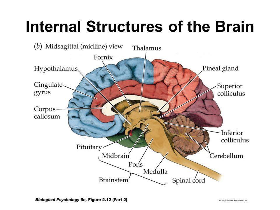Interior view brain diagram complete wiring diagrams interior brain anatomy full hd maps locations another world rh picemaps com brain diagram cerebrum internal brain diagram ccuart Image collections