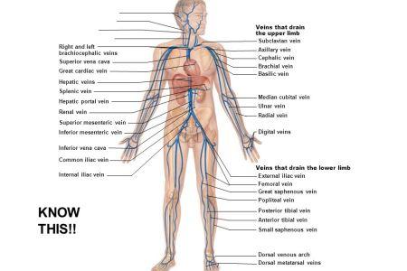 interior upper arm veins » Electronic Wallpaper   Electronic Wallpaper