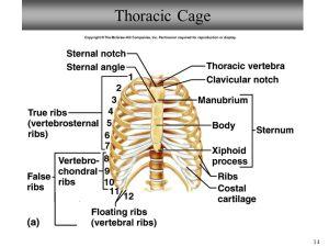 Bio 101 Laboratory 7 Vertebral Column & Thoracic Cage