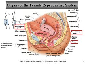 Anatomy and Physiology Chapter 25 Reproductive System – Female I  ppt video online download
