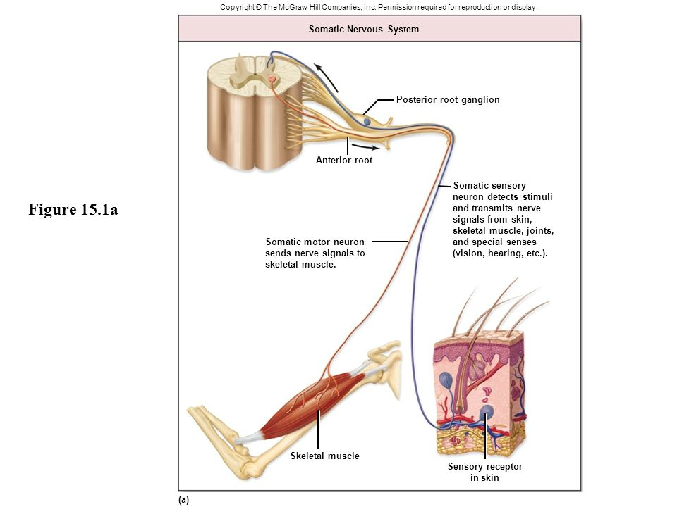 The Autonomic Nervous System Sends Motor Neurons To | Newmotorspot.co