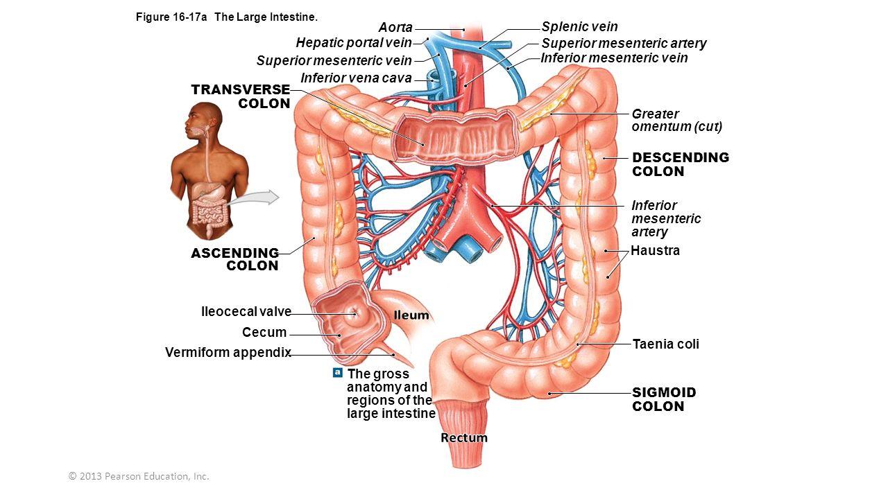 Portal System Hepatic Anatomy