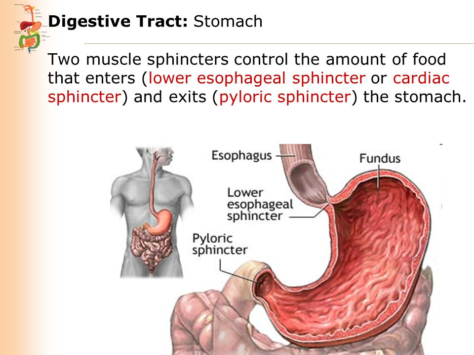 Cardiac And Pyloric Stomach Imagenesmy