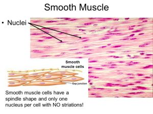 Muscle Histology  ppt video online download