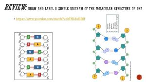 71 DNA Structure & Replication  ppt video online download