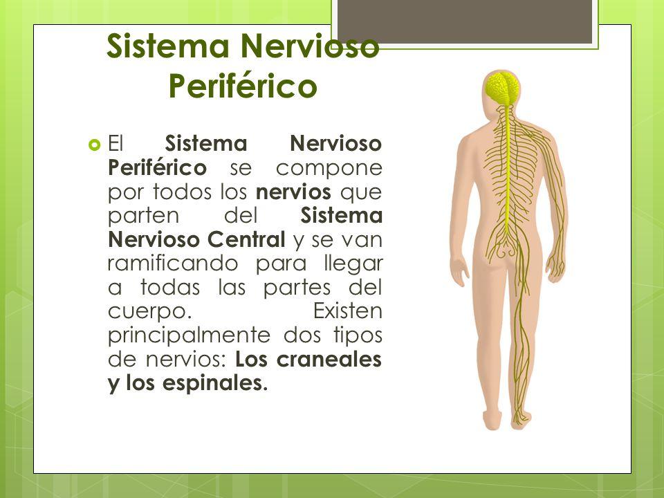 Excepcional Periféricos Del Sistema Nervioso Fotos Festooning ...