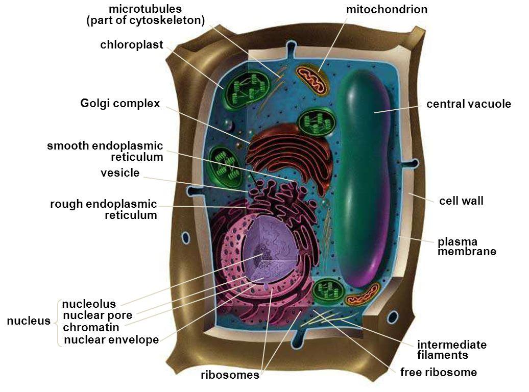 Organelos Celulares Use This Presentation In Conjunction